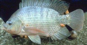 Sử dụng nấm men cho tăng trưởng cá rô phi - 264130